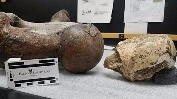 Remains of a Ground Sloth Found about 16 feet Below Crenshaw Boulevard in Los Angeles