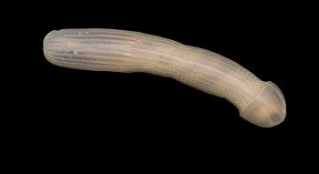 This Marine Creature, called Peanut Worm, Looks like Human Organ